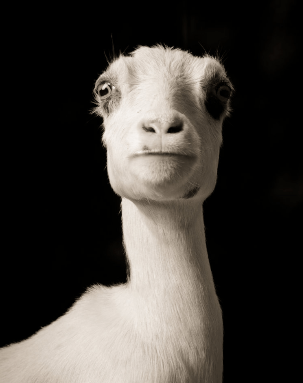 cool goat pics - Face