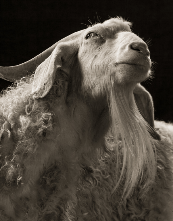cool goat pics - Goats