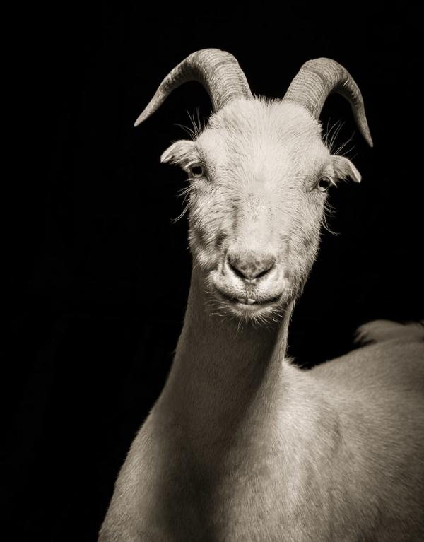 cool goat pics - Goat