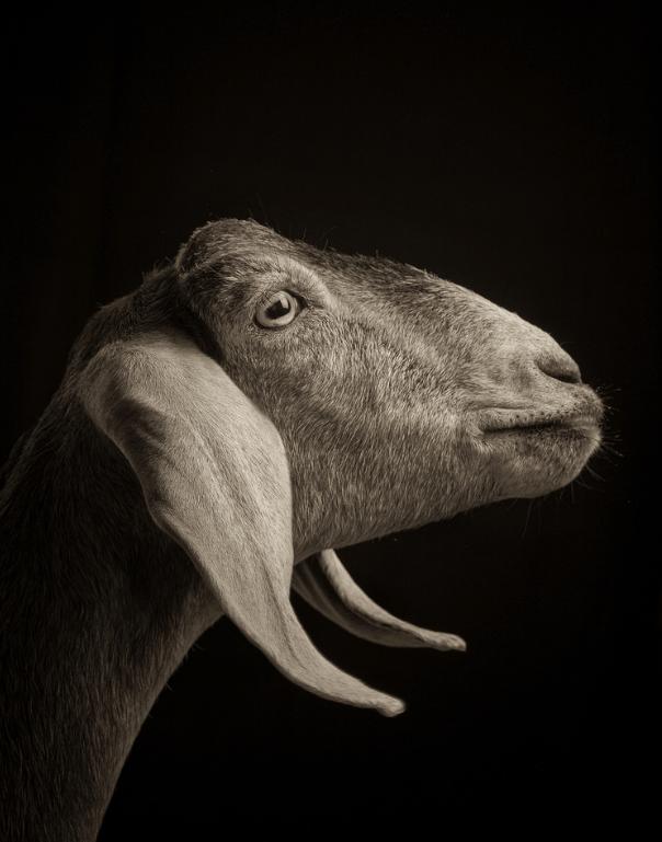 cool goat pics - Black