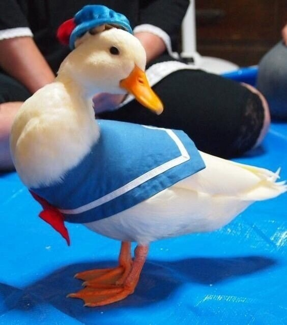 ducking adorable cosplay