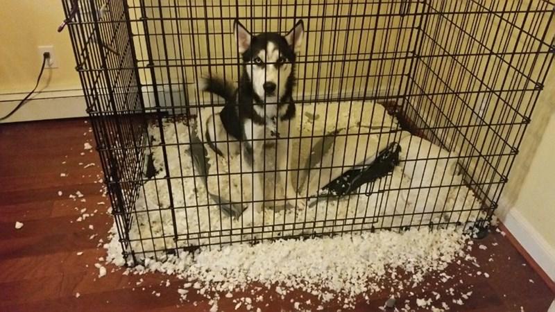 dogs snow husky - 8979294208