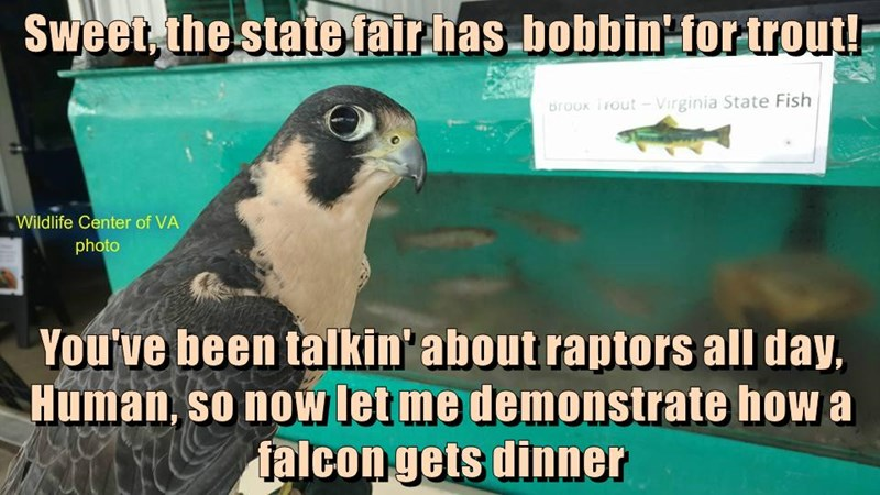 Sweet, the state fair has  bobbin' for trout!  You've been talkin' about raptors all day, Human, so now let me demonstrate how a falcon gets dinner