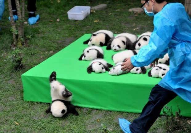 giant panda babies - Panda