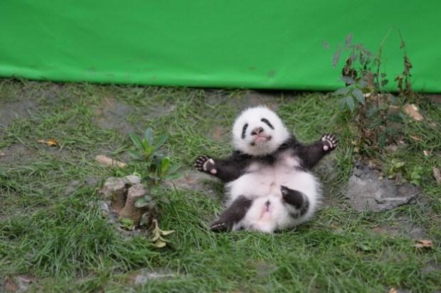 giant panda babies - Mammal