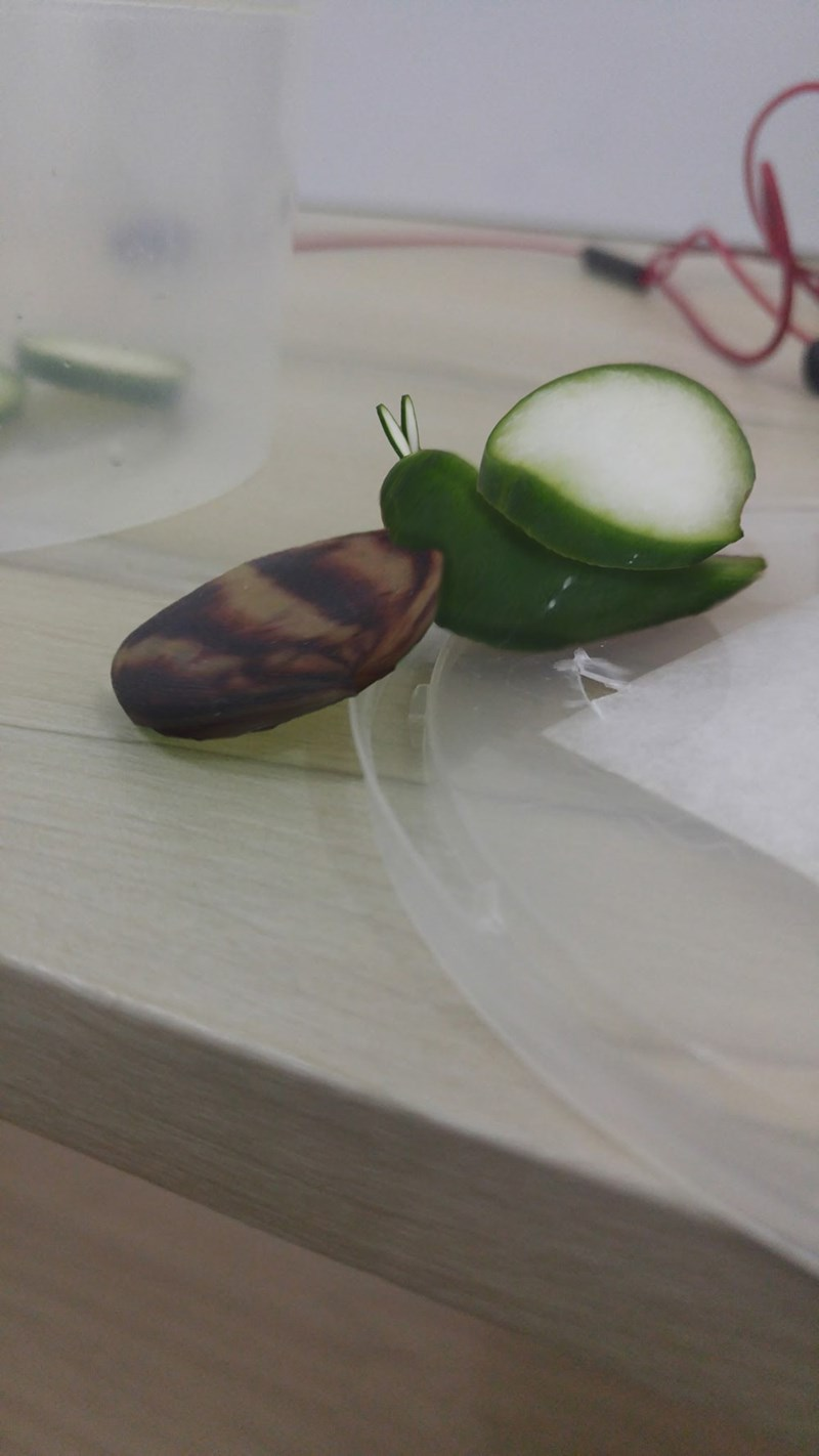 Cucumber eating snail