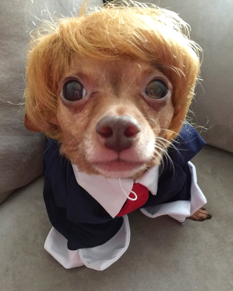 dogs donald trump chihuahua halloween - 8981724160