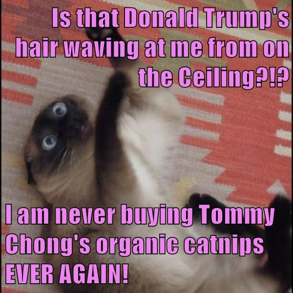 Is that Donald Trump's hair waving at me from on the Ceiling?!?  I am never buying Tommy Chong's organic catnips EVER AGAIN!