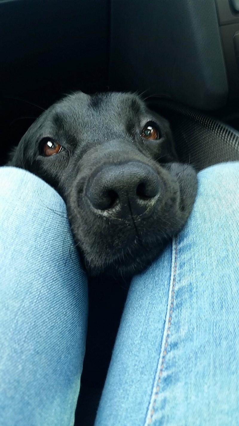dogs labrador - 8982551552