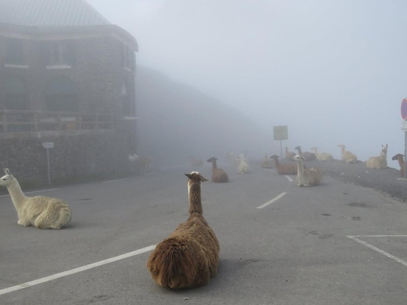 looks like the alpacalypse is finally here