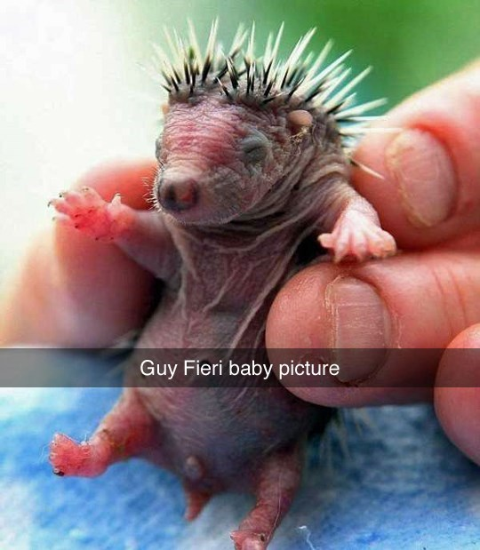 Guy Fieri hedgehog image - 8983037184