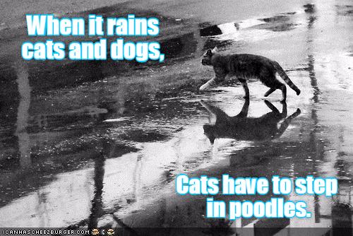 step poodles training caption Cats - 8983175424