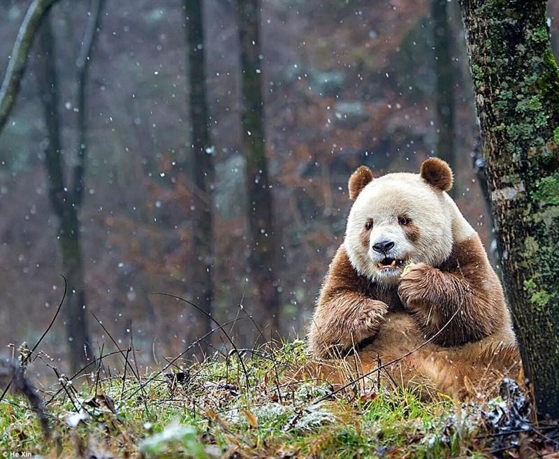brown,panda,bears