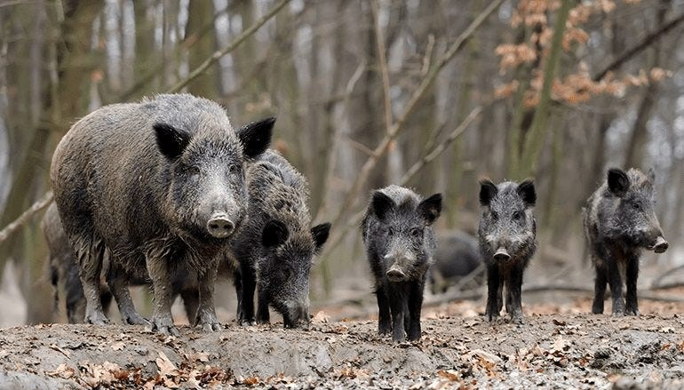why feral hogs in america aren't a joke