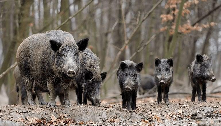 why feral hogs in america aren't a joke