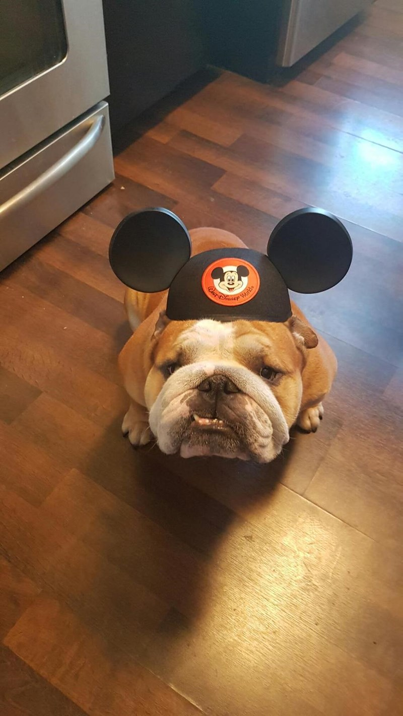 bulldog dogs disney mickey mouse - 8983959040