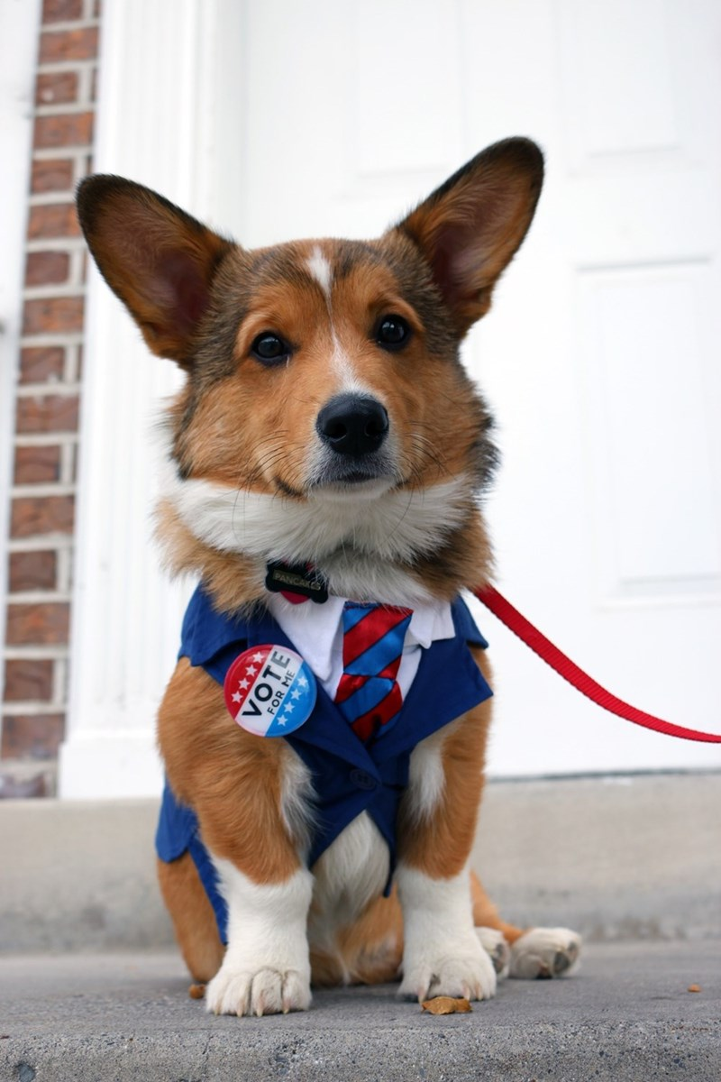 Funny dog picture of a Corgi dress and groomed to run for president.