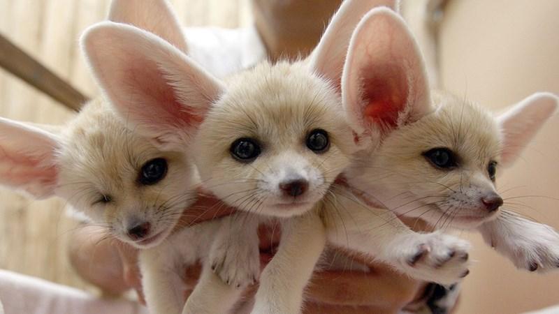 fennec fox,fox
