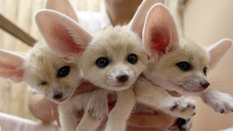 Baby Fennec Foxes Daily Squee Cute Animals Cute Baby Animals Cute Animal Pictures Animal Gifs Gif Animals