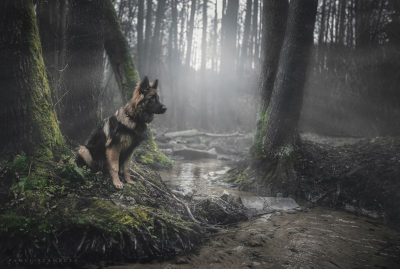 dogs german shepherd majestic