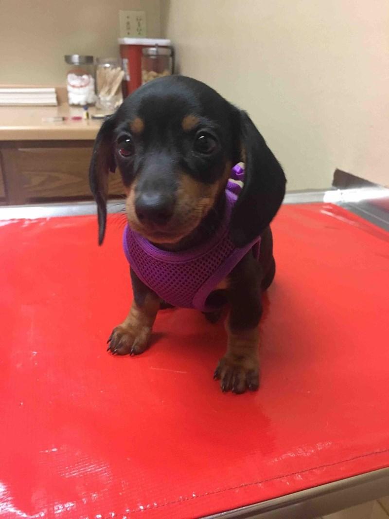 dogs puppy dachshund - 8984377344