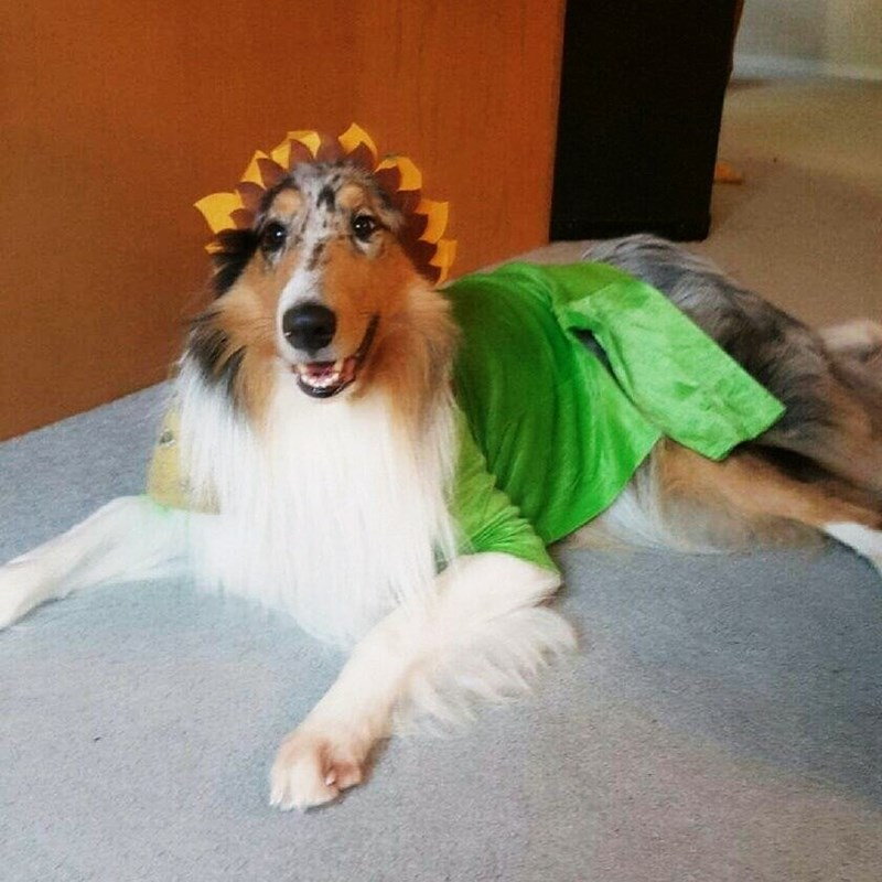collie flower