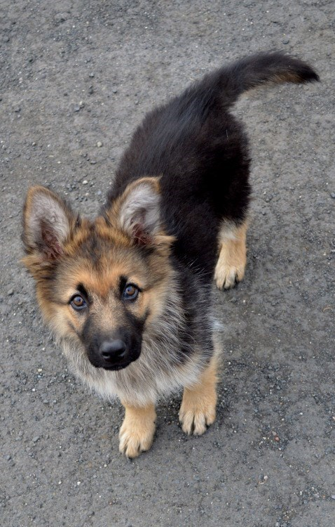 dogs german shepherd puppy