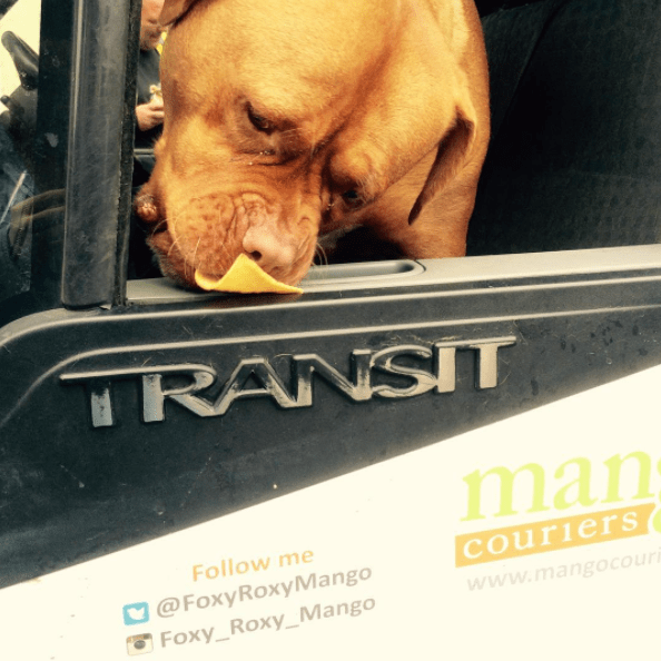 Dog - RANSIT man Follow me couriers www.mango cour @FoxyRoxyMango Foxy_Roxy_Mango