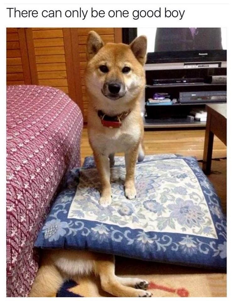 dogs meme shiba inu - 8985454080