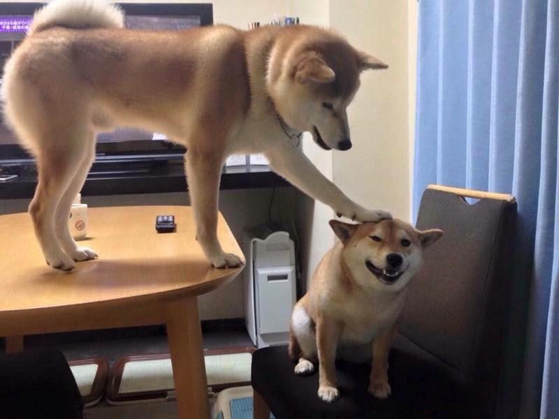 dogs boop shiba inu - 8985455104