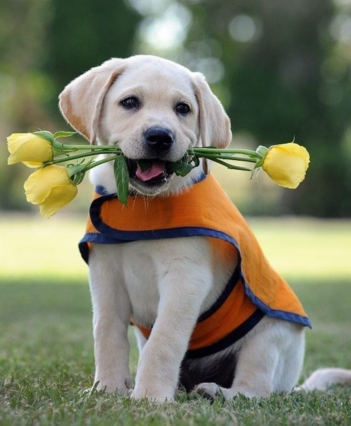 puppy training guide dog - 8985507584