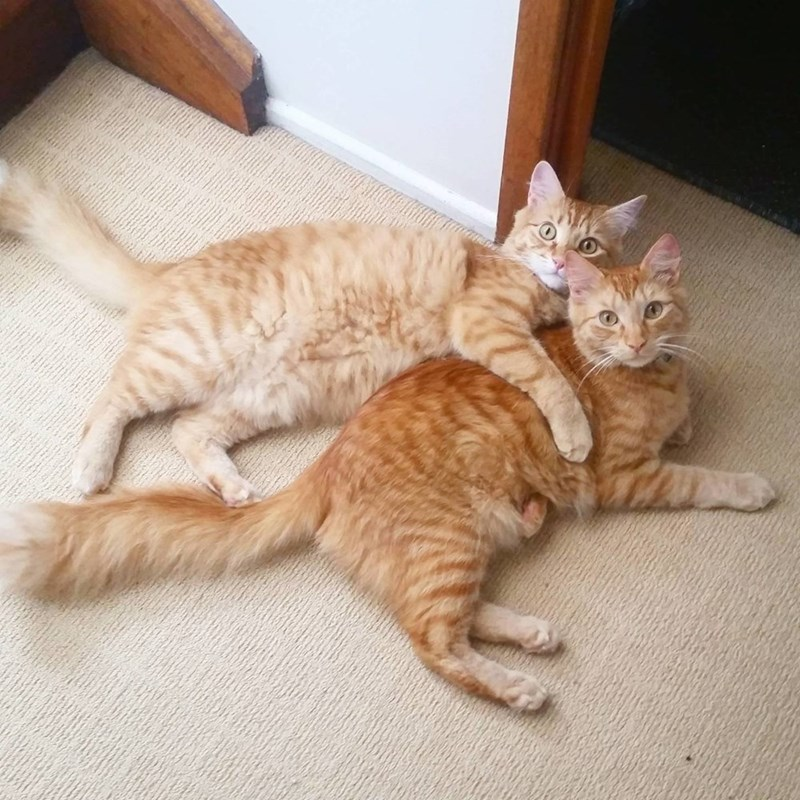 Cute cat picture of two brother cats chilling with one having an arm over the other like a good buddy.