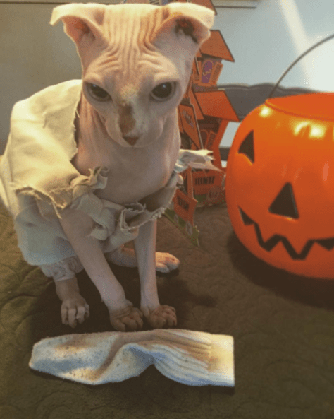 Cute cat picture of Dooby wearing the cutest Halloween costume ever.