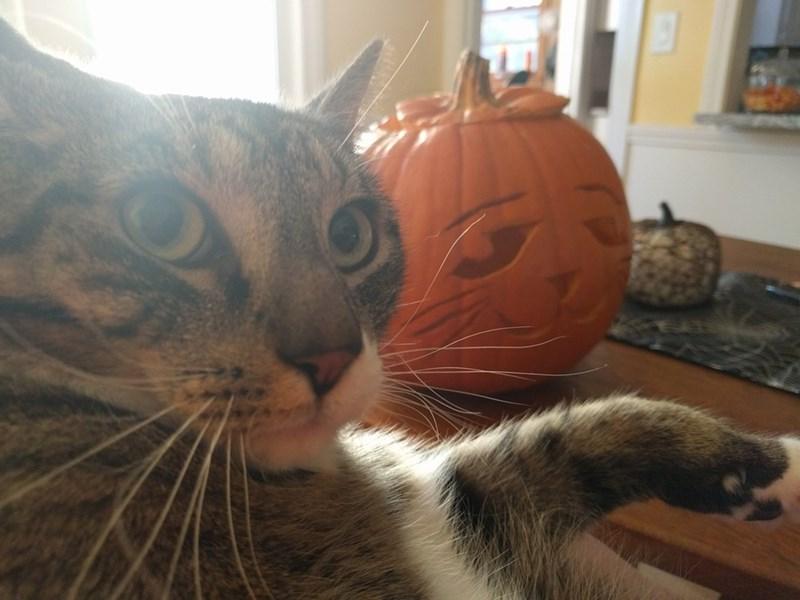 pumpkins Cats - 8986901504