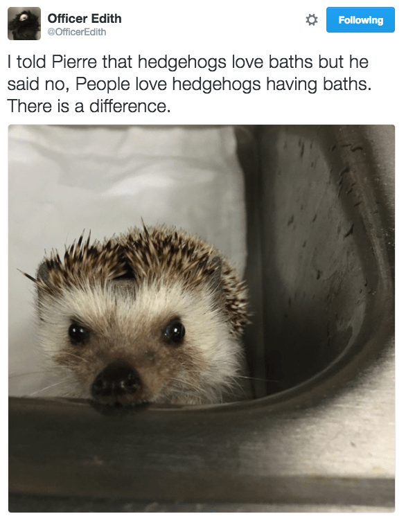 Hedgehog - Officer Edith Following @OfficerEdith I told Pierre that hedgehogs love baths but he said no, People love hedgehogs having baths. There is a difference.