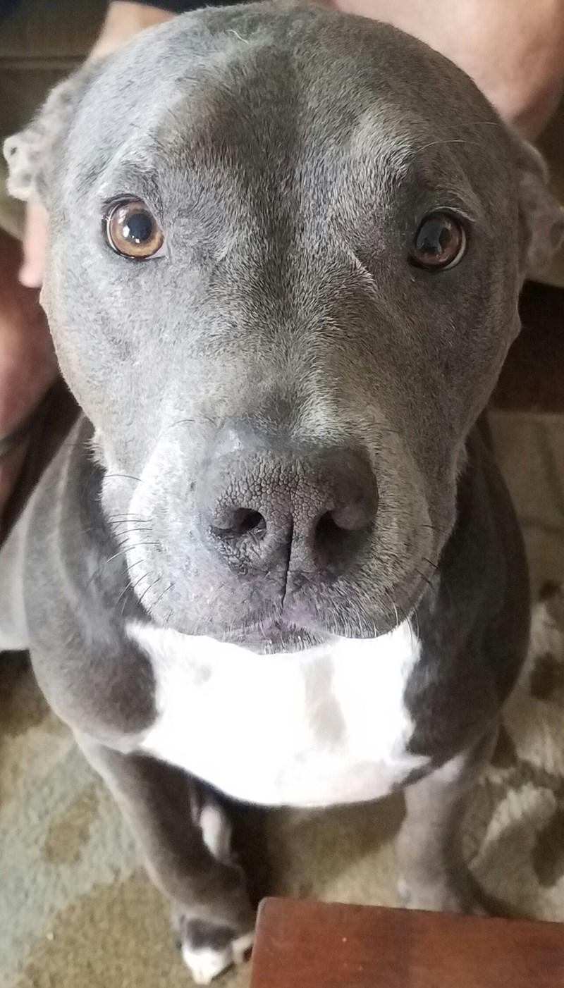 dogs pitbull - 8987370496
