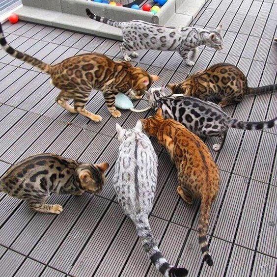 bengal Cats - 8987376896