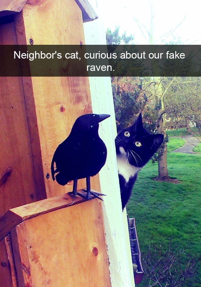 Funny snapchat of a cat curious about the fake raven.
