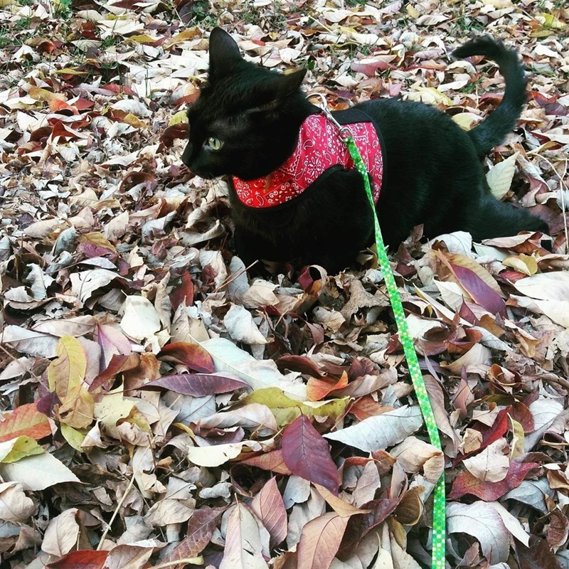 autumn leaves Cats - 8987453184