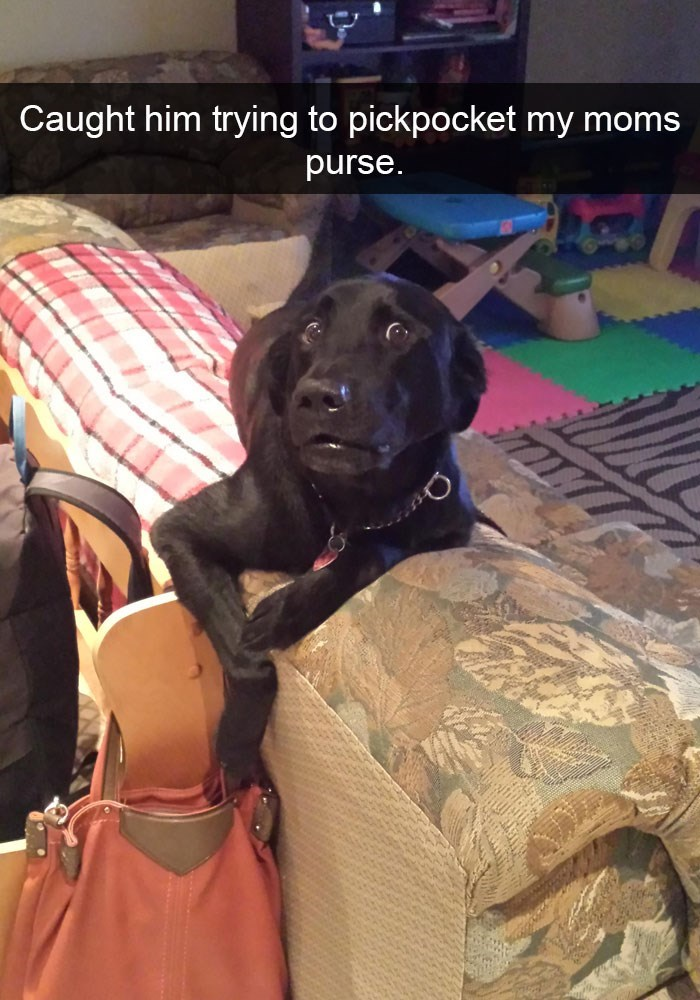 Funny picture of a dog on Snapchat that looks like he got busted stealing from mom's purse.