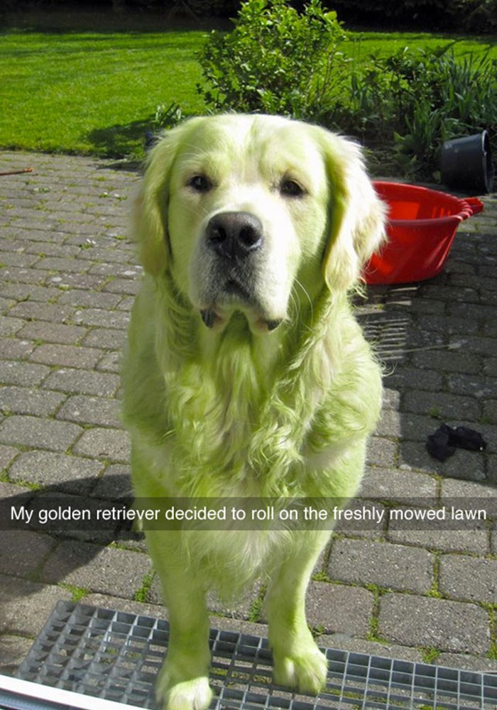 Funny dog on Snapchat that has turned green from rolling around on the freshly mowed grass.