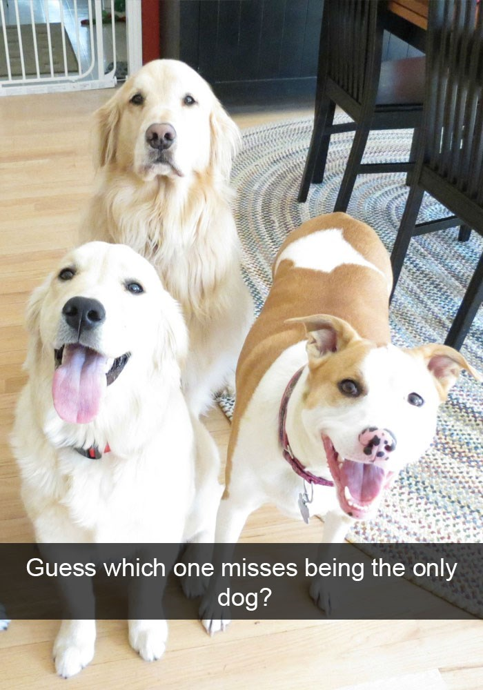 Funny picture of dogs on Snapchat with one clearly not happy that they are no longer the only dog.