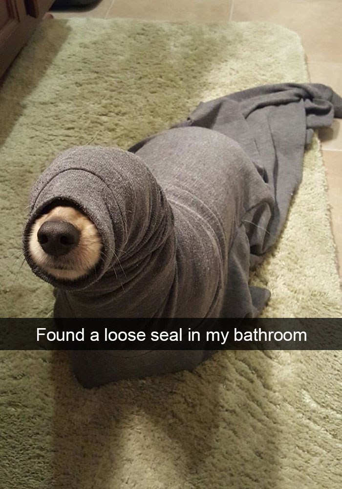 Funny snapchat dog picture that looks like a seal in a blanket.