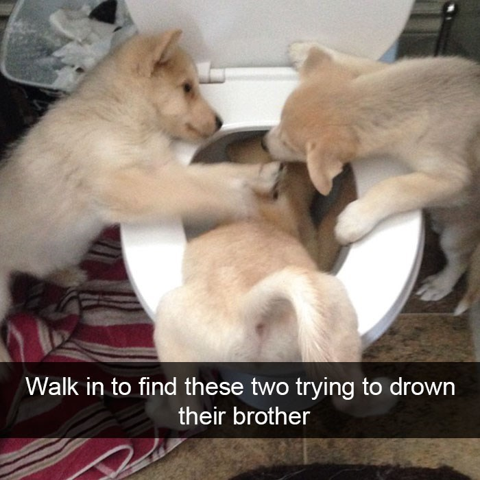 Funny Snapchat picture of two puppies trying to flush down a third in the bathroom.