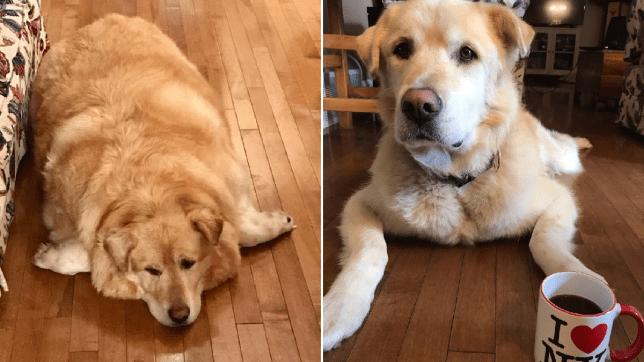 golden retriever dog overweight finds new home