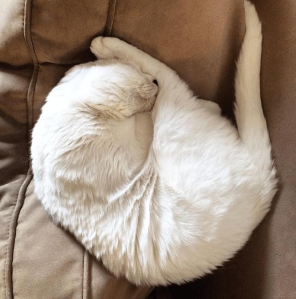 no ears cat - Fur