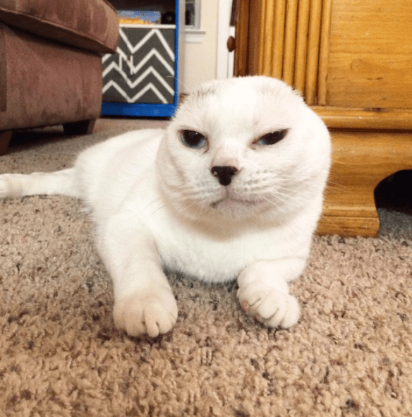 no ears cat - Mammal