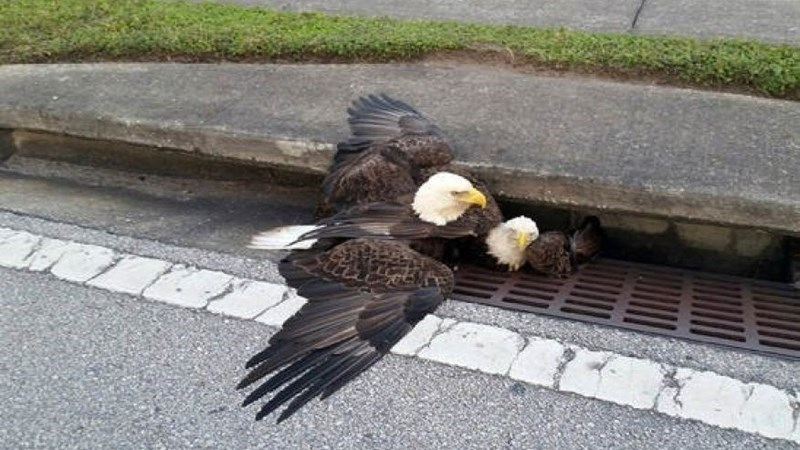 bald eagles stuck in sewer