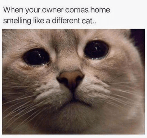 Cat - When your owner comes home smelling like a different cat..