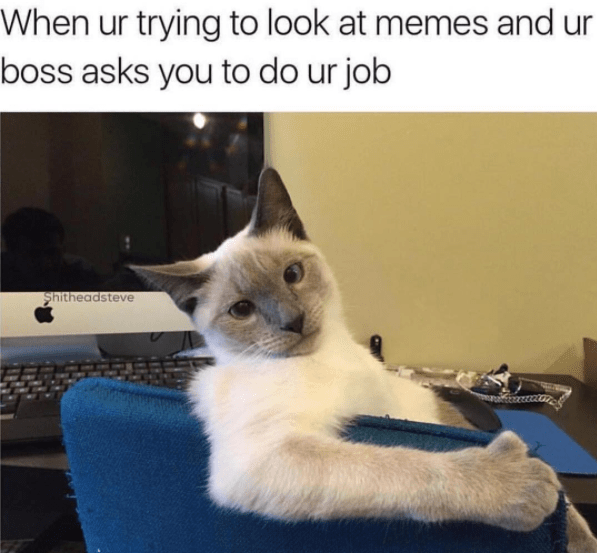 Cat - When ur trying to look at memes and ur boss asks you to do ur job Shitheadsteve
